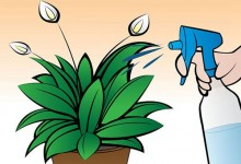 如何在室内栽种和平百合Peace Lily