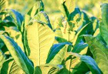 新西兰自家花园中可以种植烟叶吗?