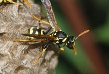 新西兰有害生物黄蜂 Wasp