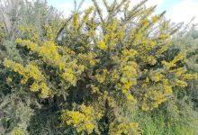 新西兰外来入侵植物荆豆树 Gorse
