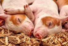 """英语中指的""""猪""""Pig Hog Boar Swine有什么区别?"""