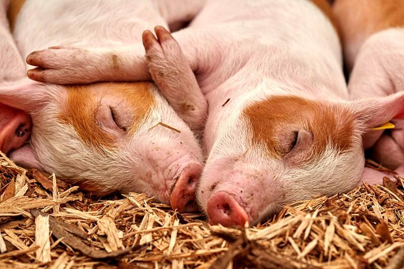 pig-hog-swine-boar