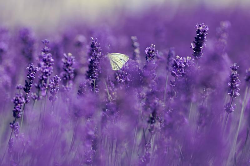 plant-lavender-in-garden