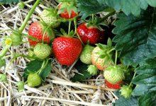 如何在新西兰的家中种植草莓