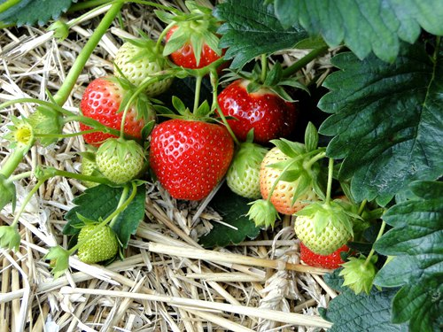 plant-strawberry-in-your-home