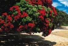 新西兰圣诞树Pohutukawa