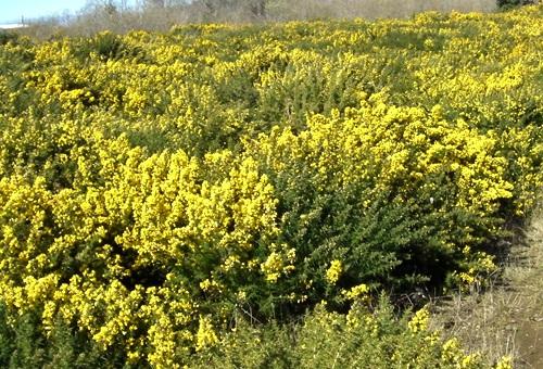 pollen-gorse