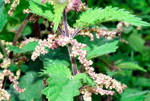 pollen-urtica