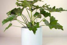 新西兰室内盆栽植物金钻万年青 Philodendron