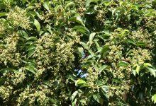 新西兰有害植物女贞树 Privet