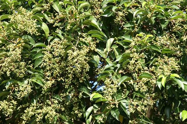 privet-tree