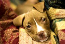 新西兰二手交易平台TradeMe禁止销售三种犬类,三月份开始