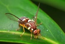 为什么新西兰害怕昆士兰果蝇Queensland Fruit Fly?