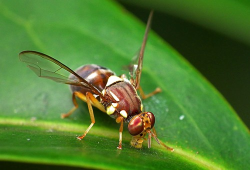 queensland-fruit-fly