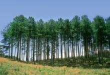 新西兰经济林木辐射松Radiata Pine