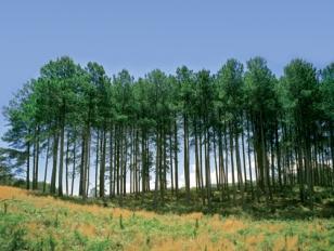 radiata-pine