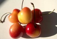 """新西兰白樱桃""""雷尼尔""""Rainier Cherry"""