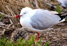 新西兰本土鸟类红嘴鸥 Red-billed Gull