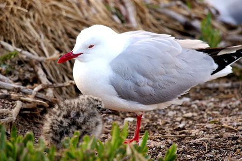 red-billed-gull