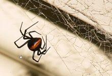 新西兰红背蜘蛛 Redback spider
