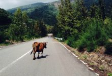 新西兰高速公路和开放公路上看到大型牲畜该怎么办?