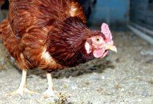 奥克兰议会对于在家养蛋鸡的规定