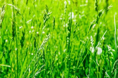 rye-grass-pollen