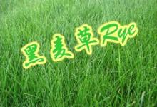 新西兰草坪常见品种黑麦草Rye