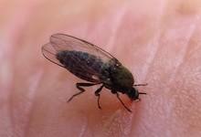 新西兰沙蝇Sandfly