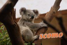 澳大利亚总理斯科特莫里森的昵称 ScoMo