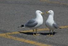 海鸥为什么喜欢在停车场休息