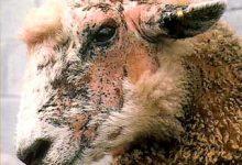 新西兰绵羊面部湿疹 Facial Eczema