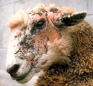 sheep-facial-eczema