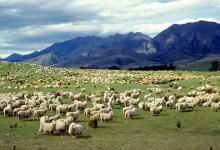 新西兰绵羊养殖业Sheep Farming