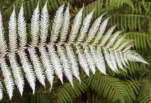 新西兰的本土植物银蕨 Silver Fern