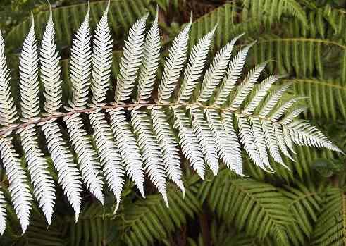 silver_fern