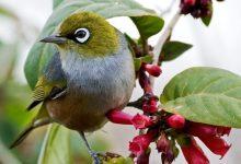 新西兰灰胸绣眼鸟 Silvereye