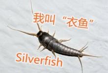 """新西兰室内害虫""""衣鱼""""Silverfish"""