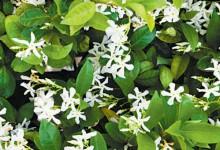 新西兰花园景观植物白花藤Star Jasmine