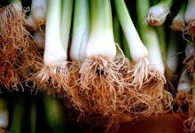 为什么新西兰的洋葱、葱蒜、韭菜的味道强烈?