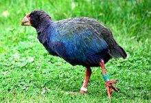 新西兰珍禽南秧鸡 Takahē