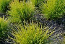 新西兰花园景观植物 Tanika