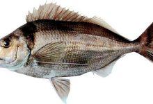 新西兰龙尖鱼 Tarakihi