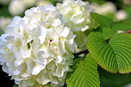 trim-your-hydrangeas-for-next-year