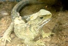 新西兰鳄蜥Tuatara