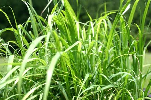 use-lemon-grass-to-repel-mosquitoes