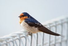 新西兰喜燕 Welcome Swallow