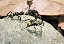 如何依靠辨别蚁后彻底清除家中的蚂蚁