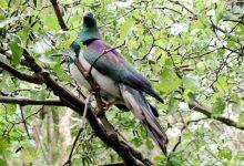 新西兰木鸽 Kererū